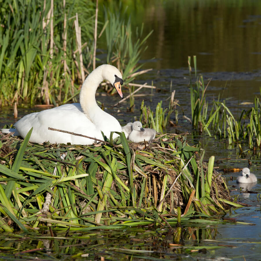 A swan's nest, with young
