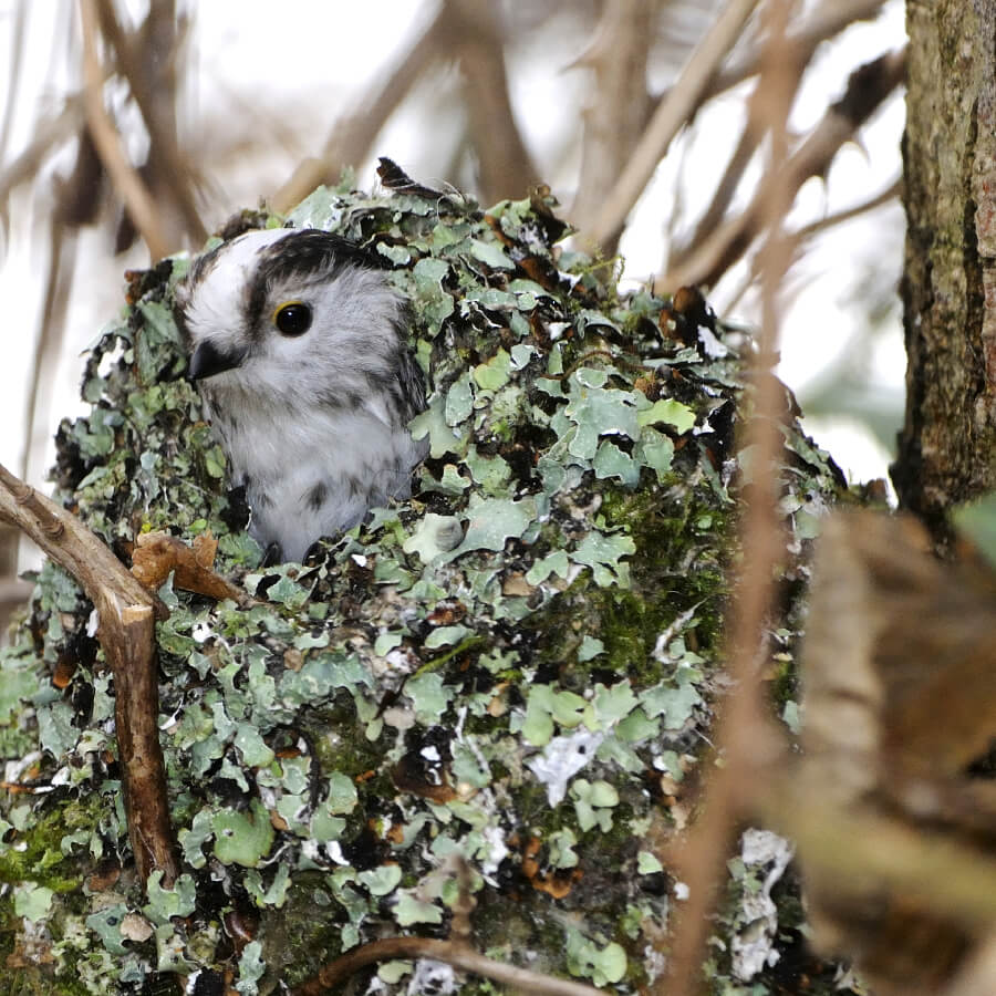A long tailed tit's nest