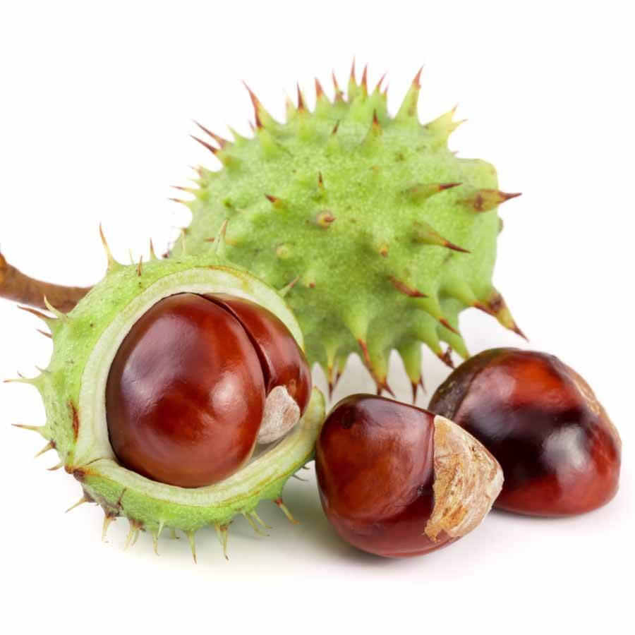 Conkers in husk and out