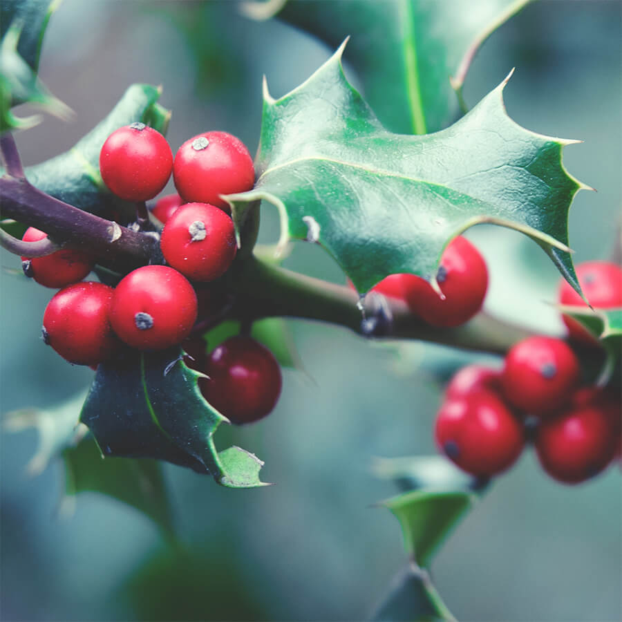 A holly bush with berries
