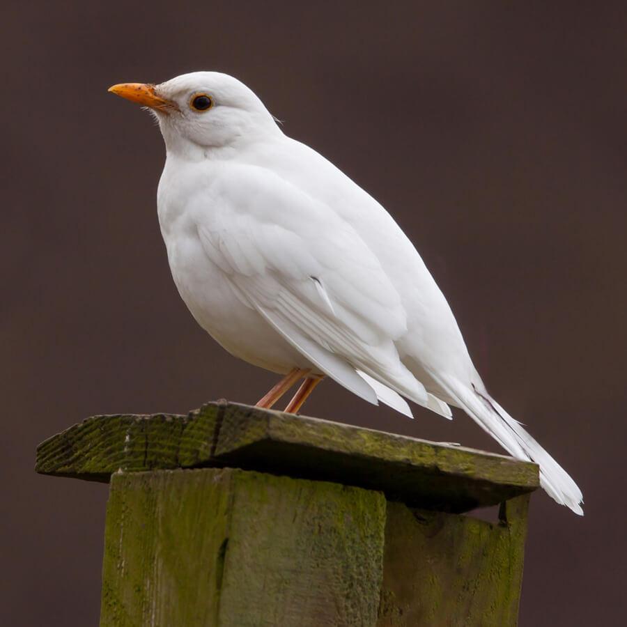 albino blackbird, white with red eyes