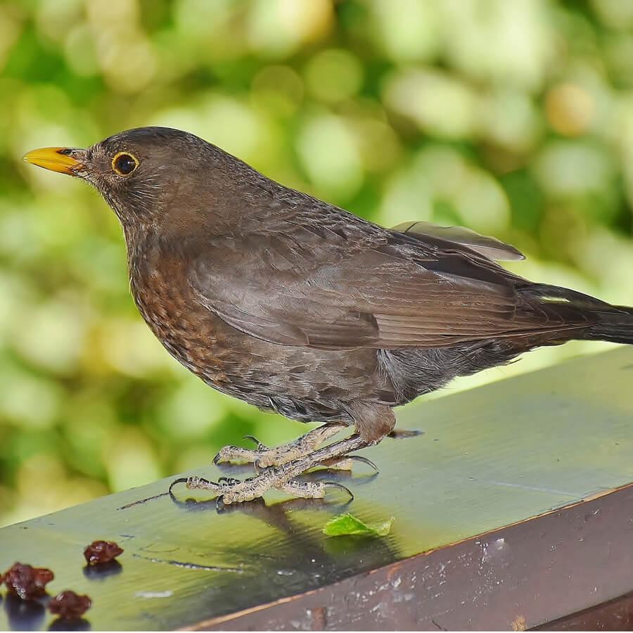 brown female blackbird on branch