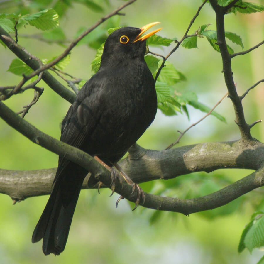 Black male blackbird on branch