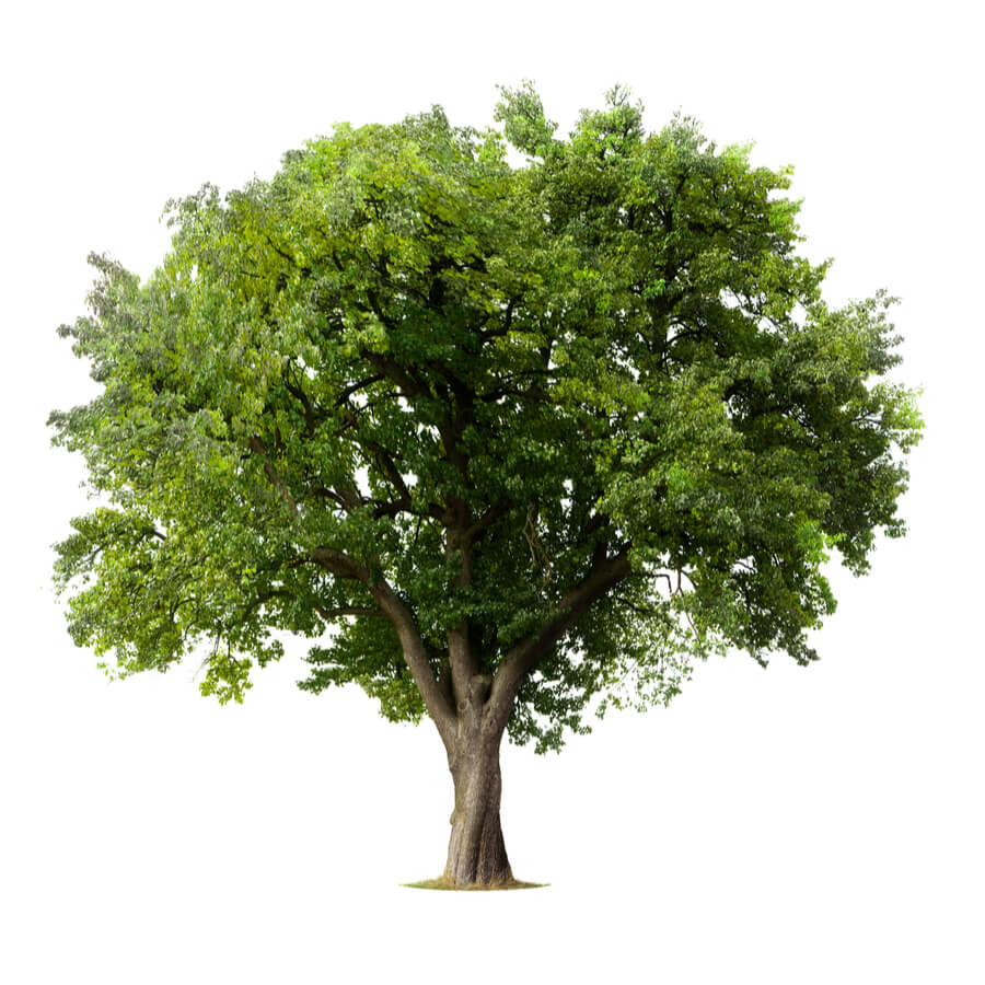 Towering, green, leafy tree