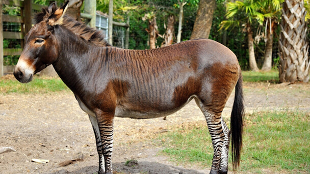 Zeedonk (offspring of a zebra and a donkey) standing in front of trees