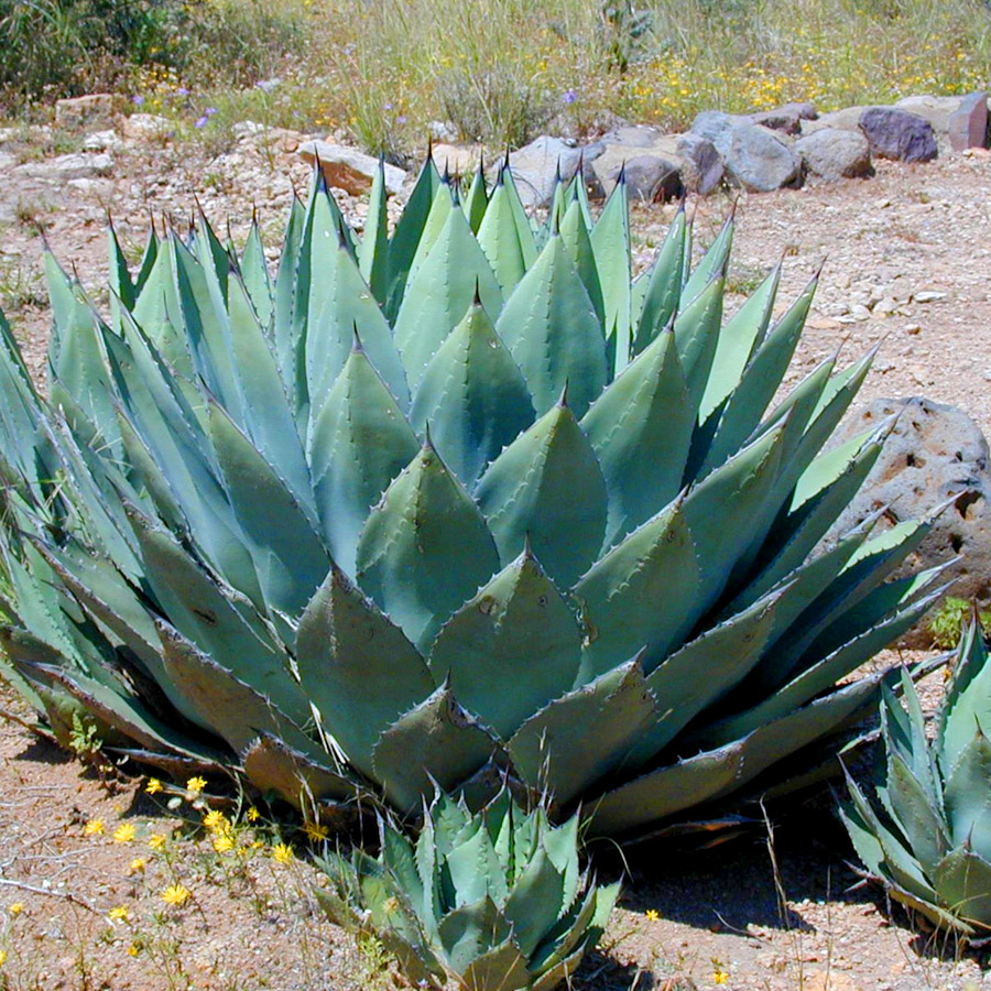 Succulent spiky Agave plant