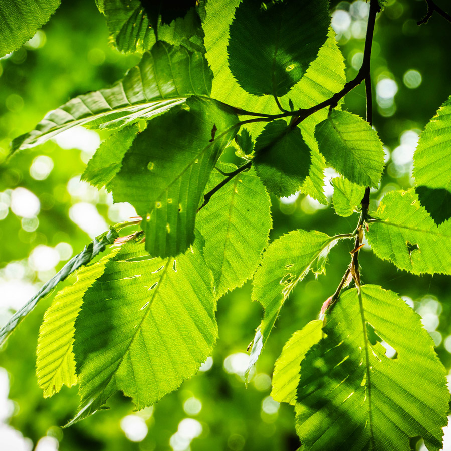 bright green European beech leaves