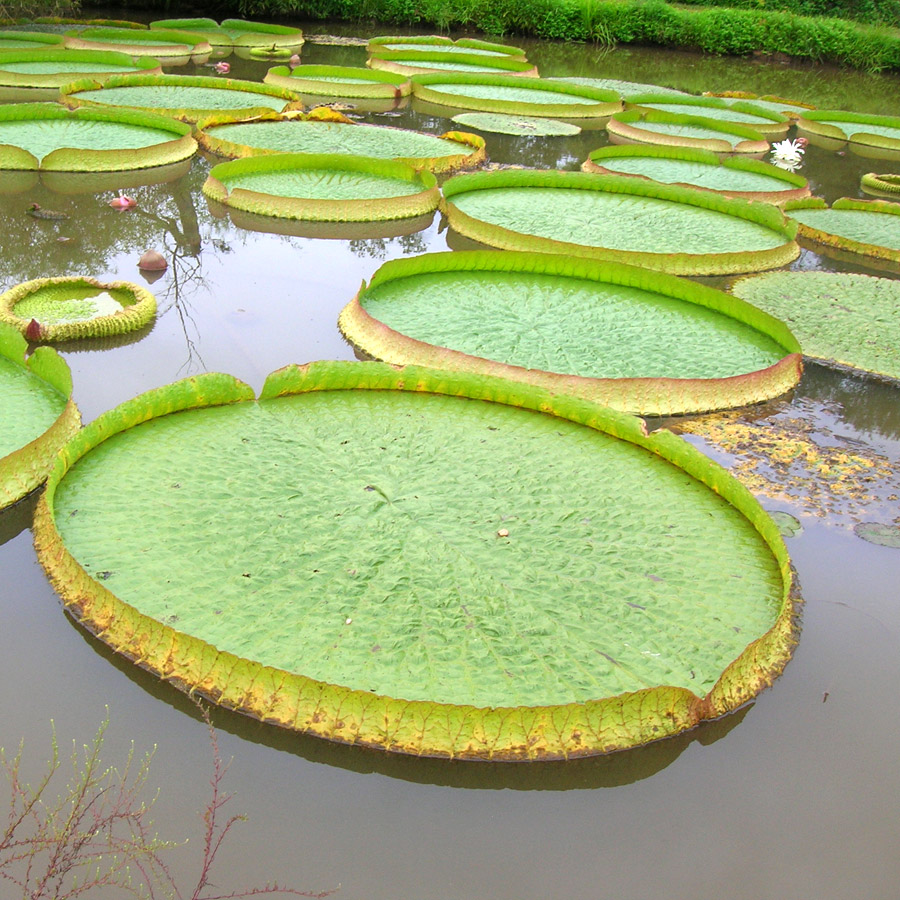 Vast, green and circular Victoria water lilies
