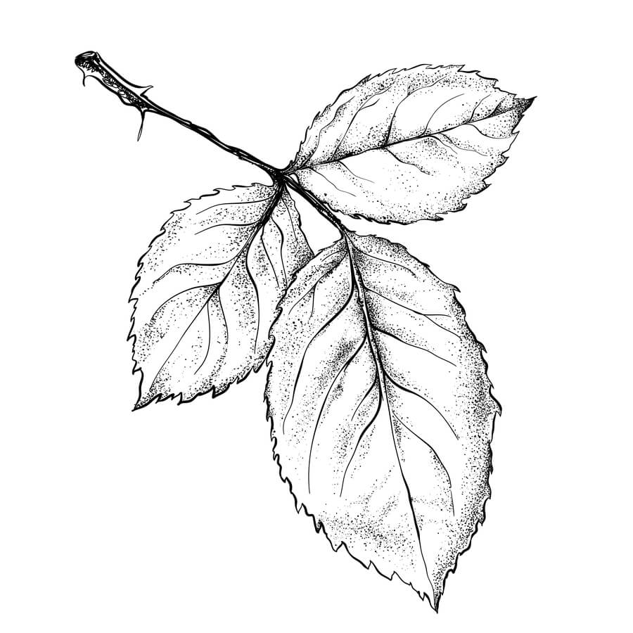 Pencil sketch of three leaves on a branch