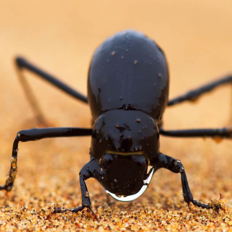 Fog-basking beetle