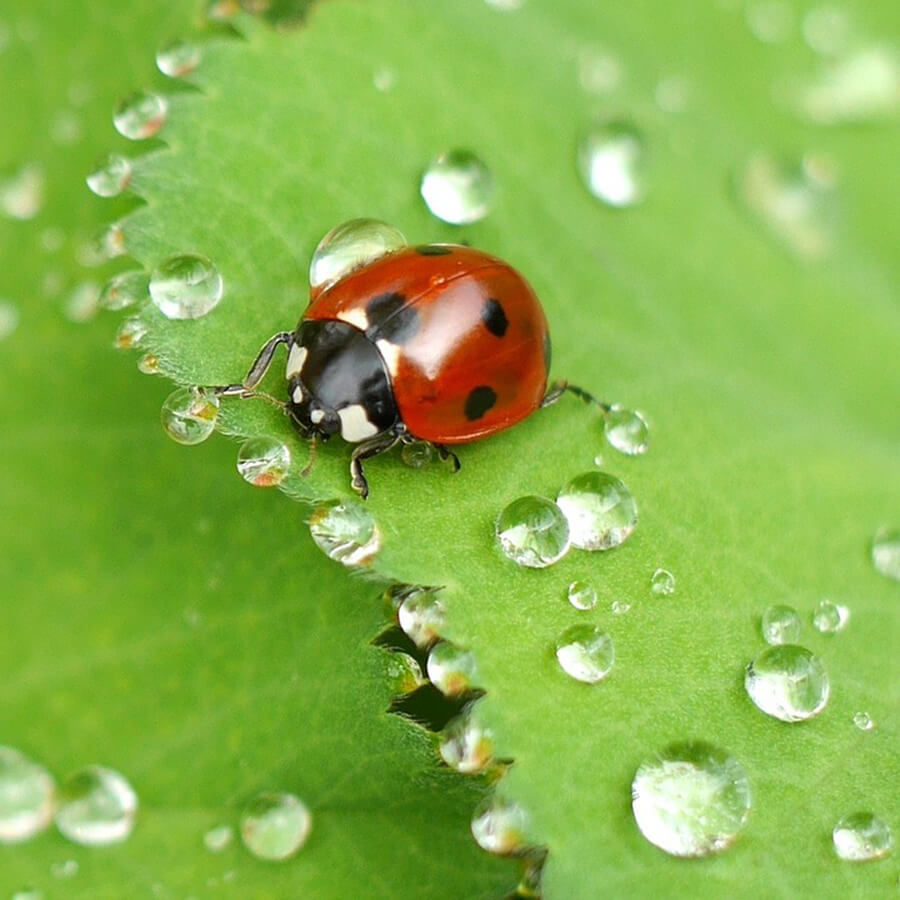 Ladybird on leaf surrounded by water drops