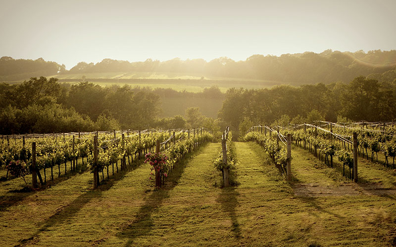 English wine at Bluebell Vineyard, Sussex