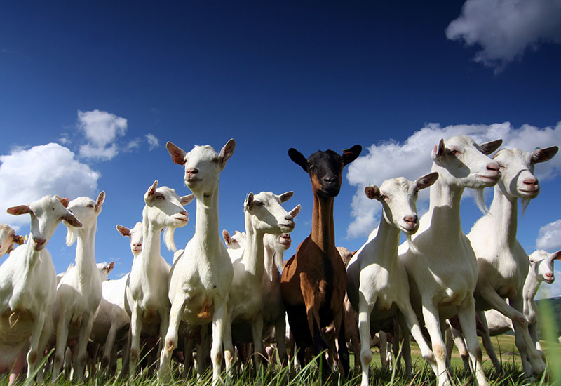 Sheep milk, goat milk, cow milk? What's the difference? | Farmdrop