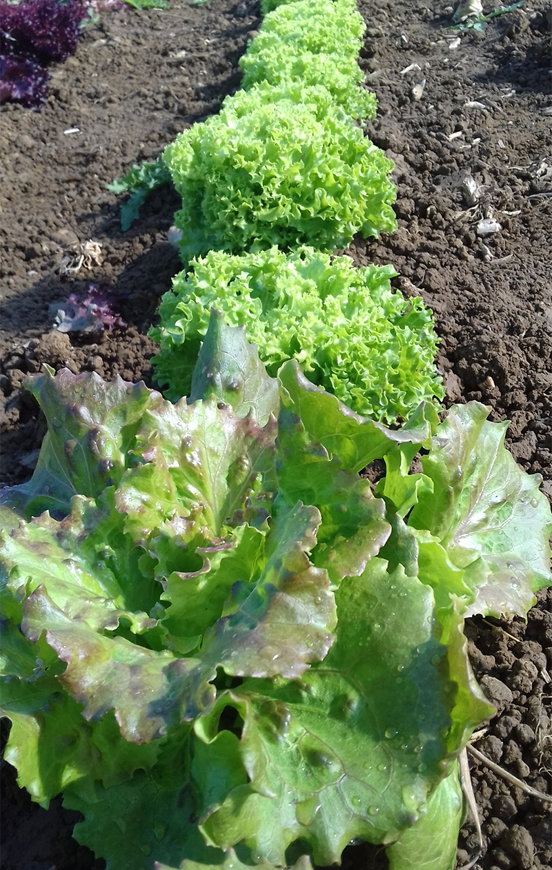 grown green farm salad