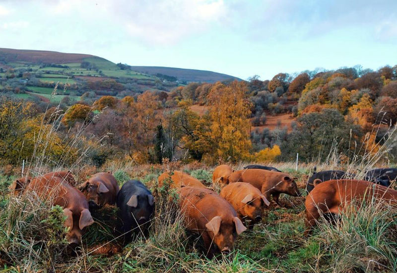 Woodland-raised rare breed pigs at Forest Coal Pit Farmin the foothills of the Black Mountains near Abergavenny, Wales