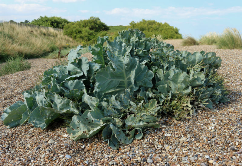 Sea Kale on shingle beach - Farmdrop