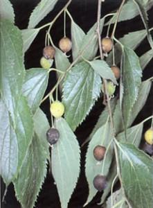 Lledons, fruits del lledoner