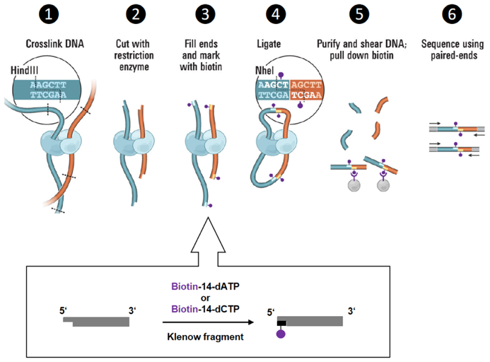 Figure 1: Efficient biotinylation of digested chromatin fragments is a key-step of Hi-C experiments. Adapted from [2].