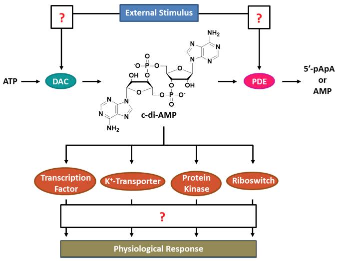 Scheme 1: The c-di-AMP signaling network.