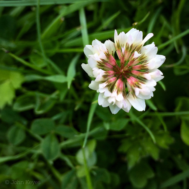 A photo of a clover flower