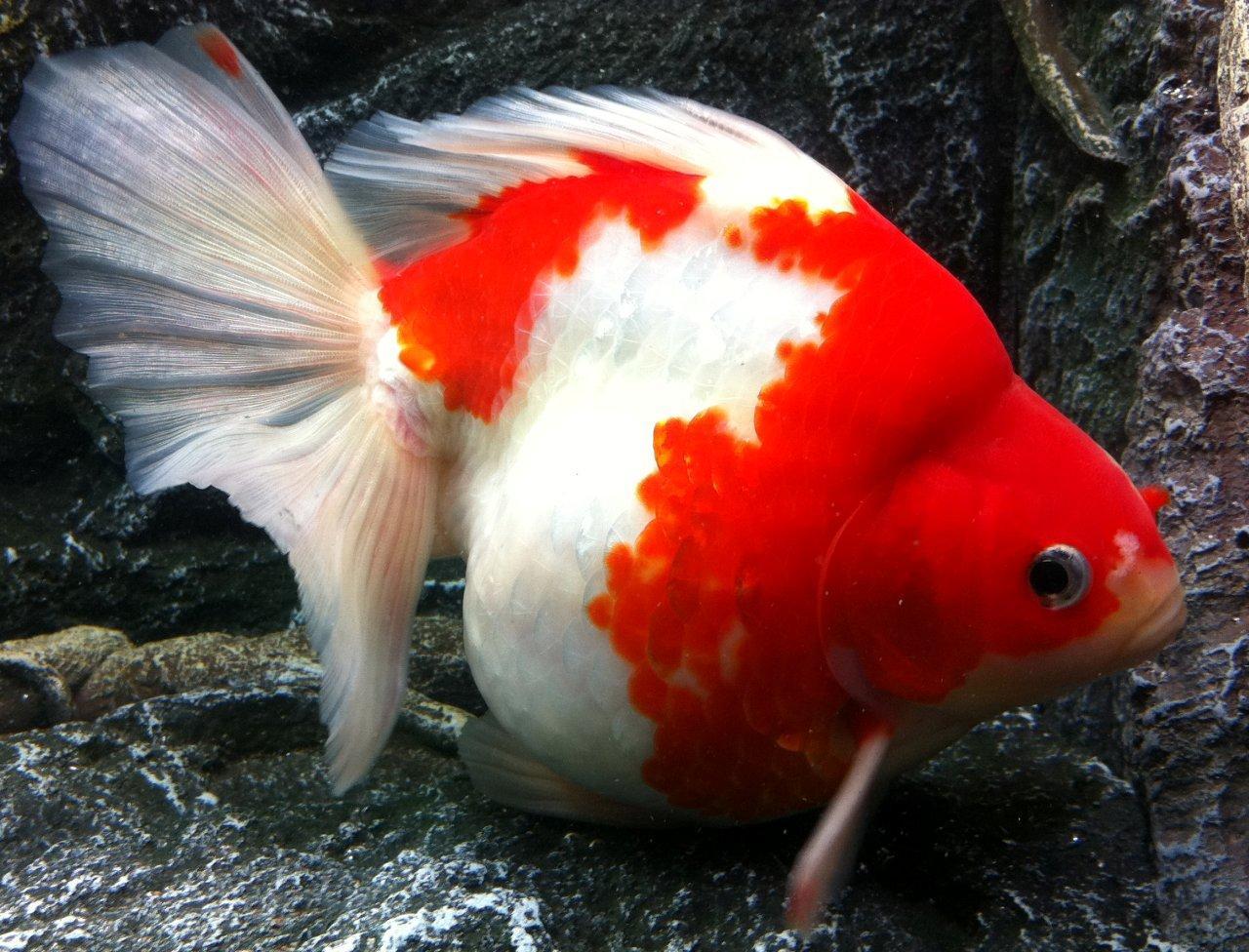 Keeping Coldwater Fish In Aquariums - Maidenhead Aquatics