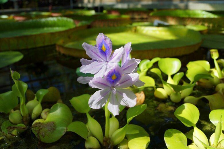 Water Nature Flowers Flower Water Water Hyacinth 1689723