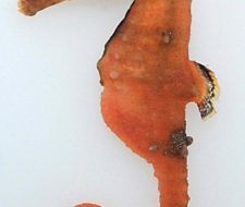 New Species of Seahorse Discovered