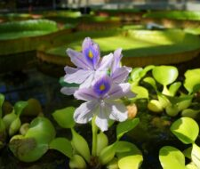 Pond Plants Ban Takes Effect