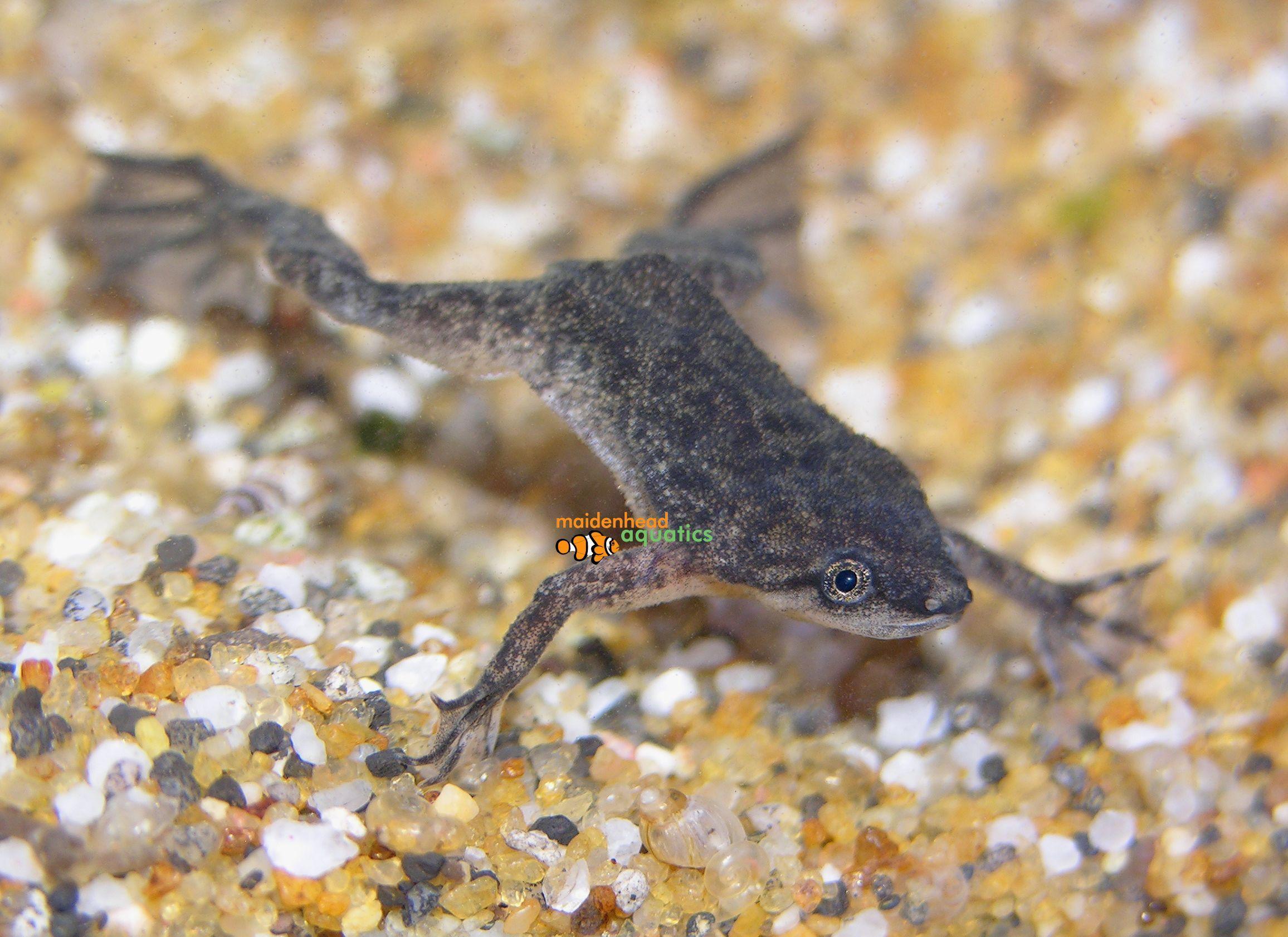 African Dwarf Frog Hymenochirus Spp