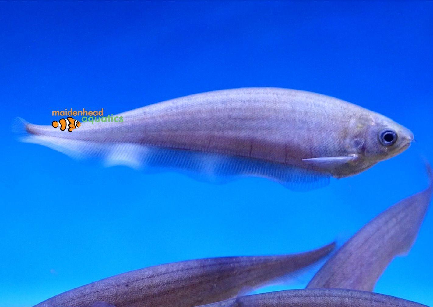 African Knifefish Xenomystus Nigri