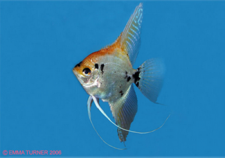 Angel fish maidenhead aqautics for Black and white striped fish freshwater