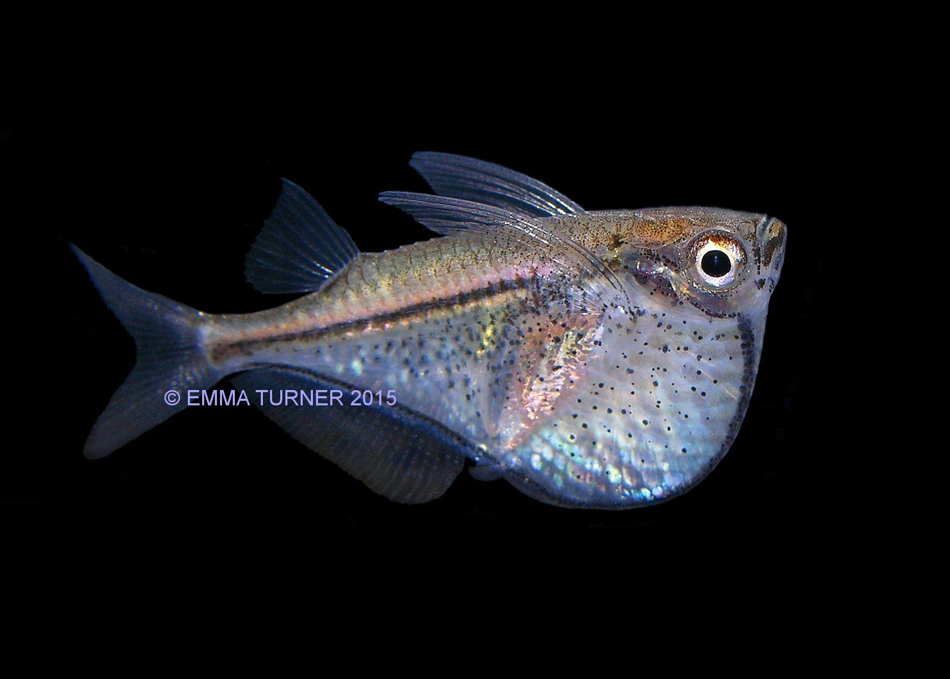 Black Winged Hatchetfish Maidenhead Aquatics