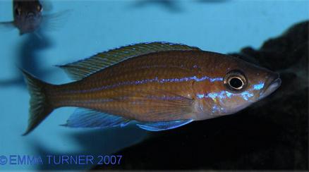 Blue Neon Cichlid