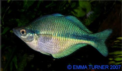 blue rainbowfish maidenhead aquatics