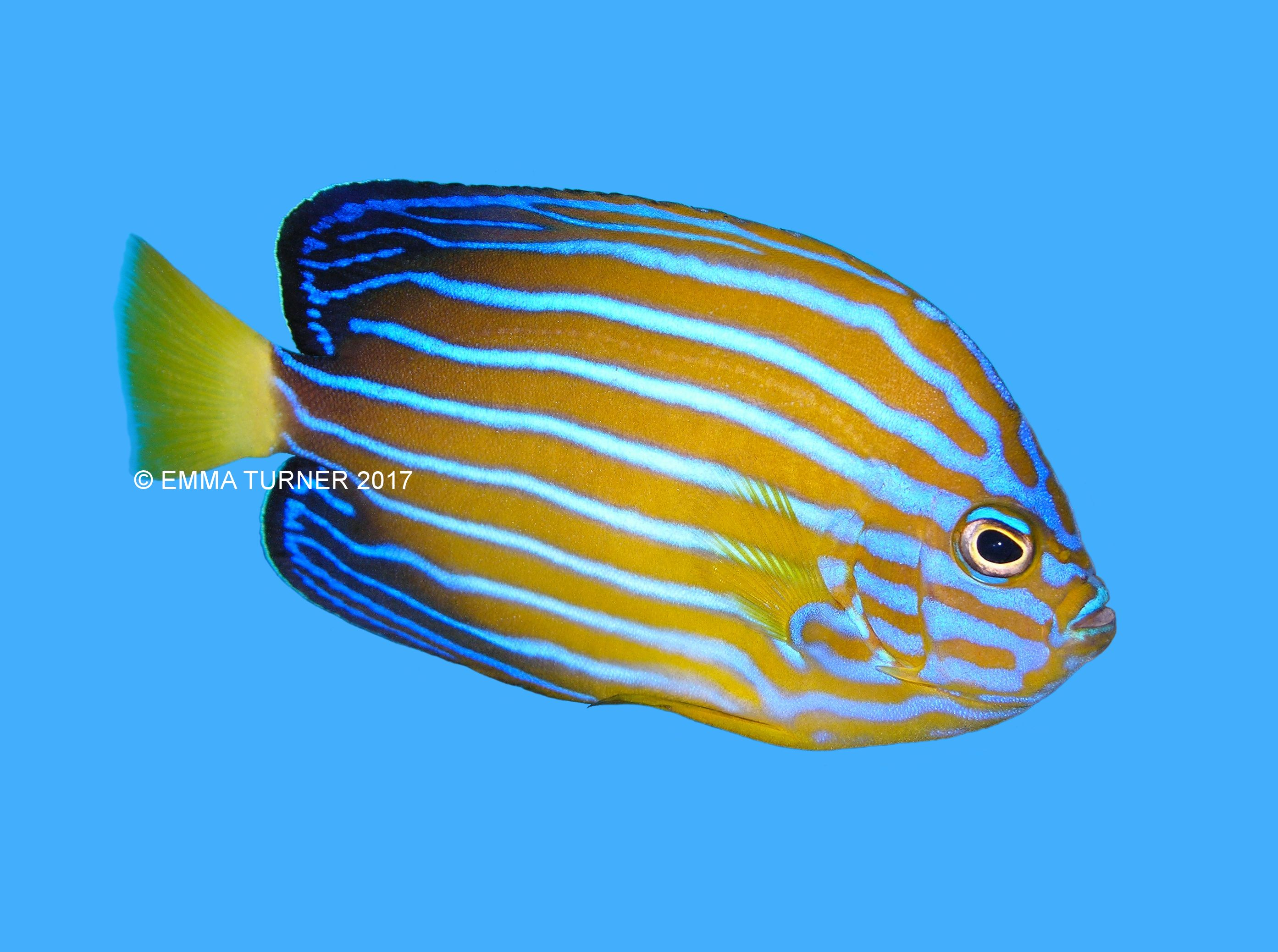 Bluestriped angelfish fishkeeper for Fish compatible with angelfish