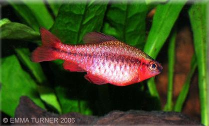 Cherry Barb Maidenhead Aquatic