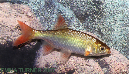 Golden rudd maidenhead aquatics for Golden ornamental pond fish