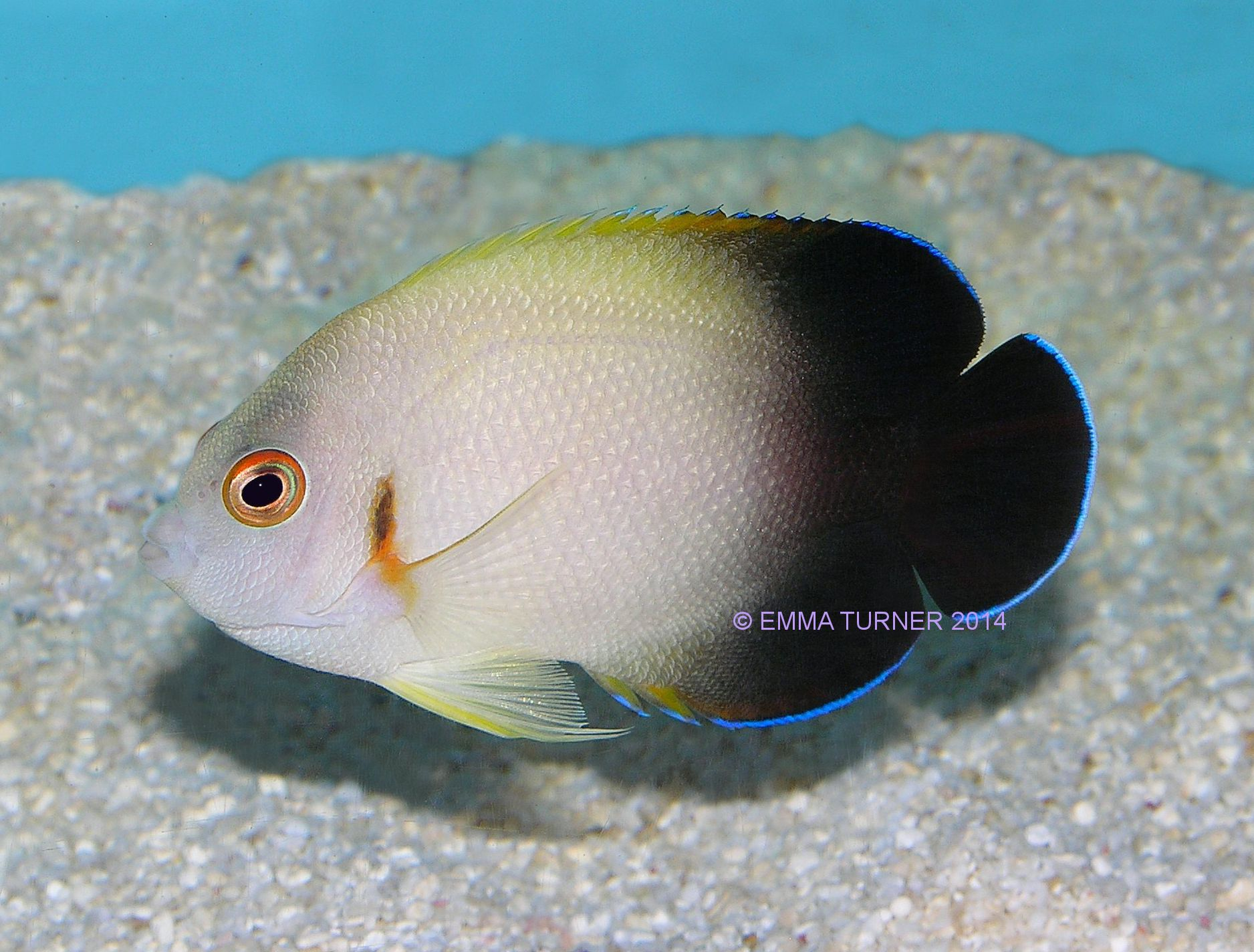 Halfblack angelfish maidenhead aquatics for Fish compatible with angelfish
