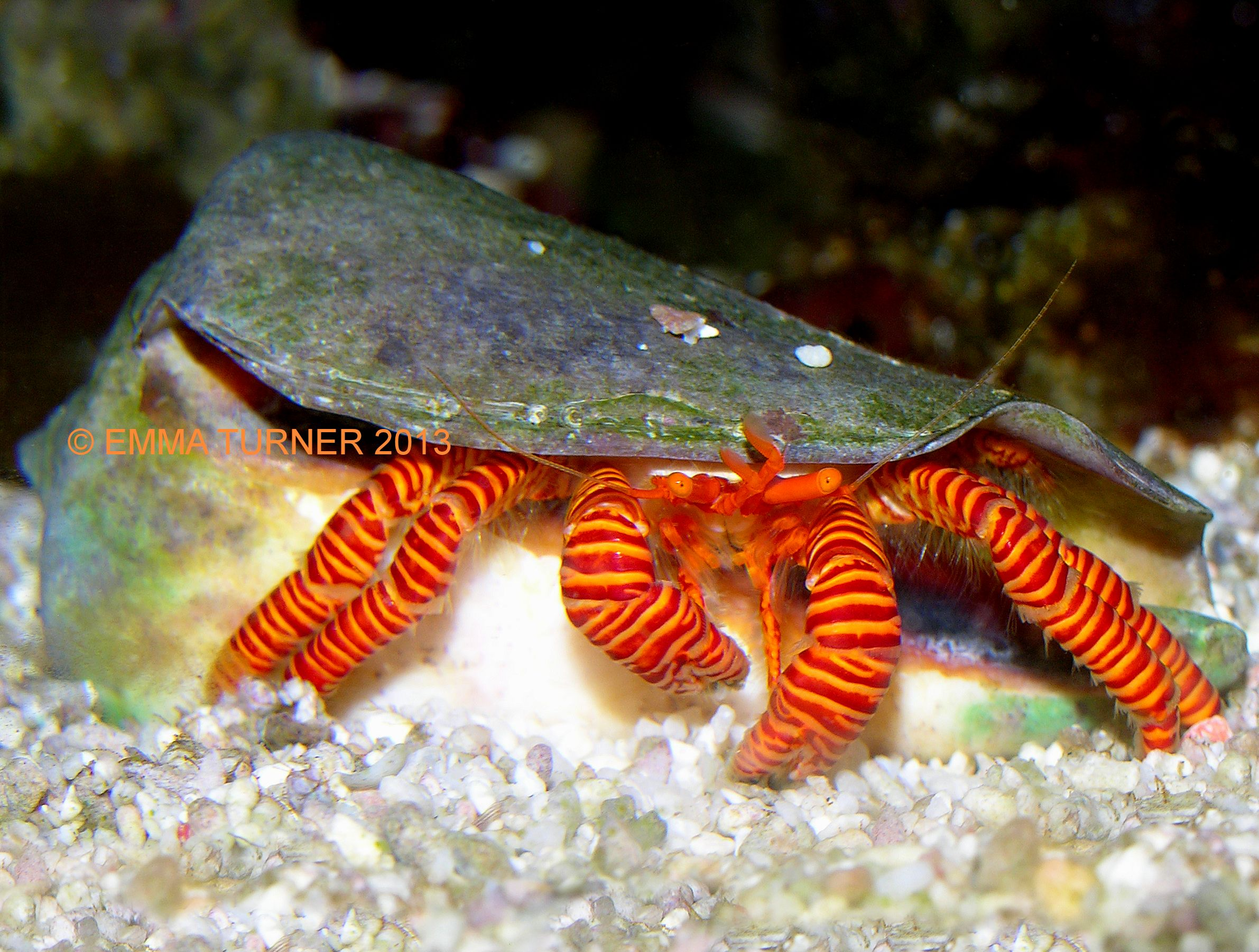 halloween hermit crab - maidenhead aquatics