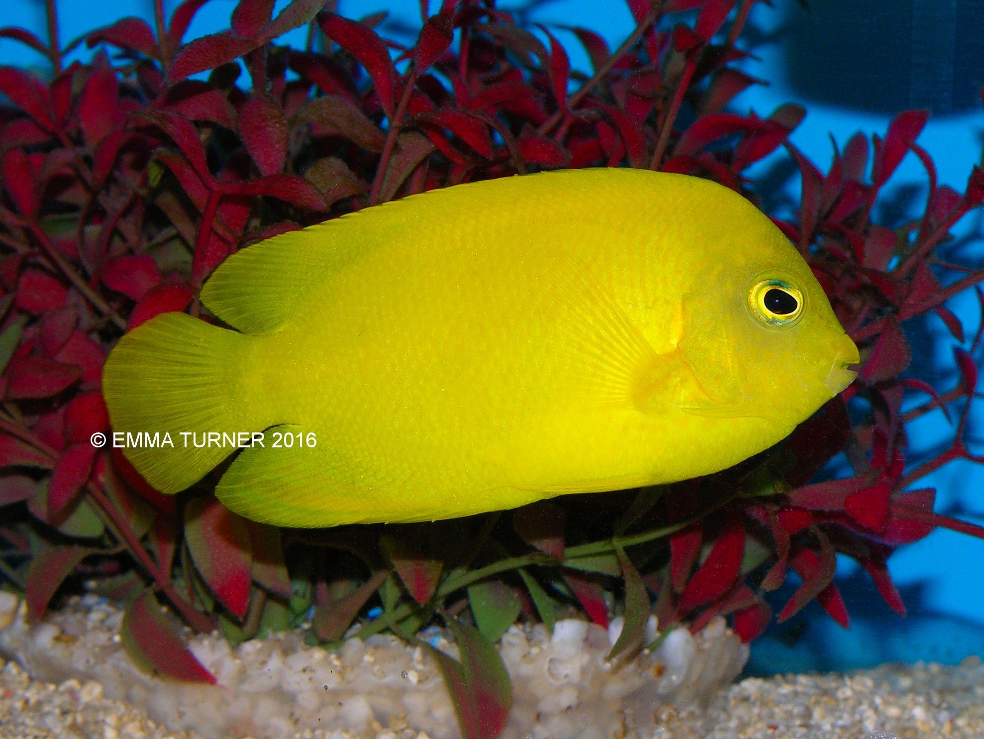 Yellow Angelfish | Heralds Angelfish Maidenhead Aquatics