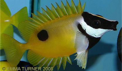 Freshwater dimorphism sexual fish