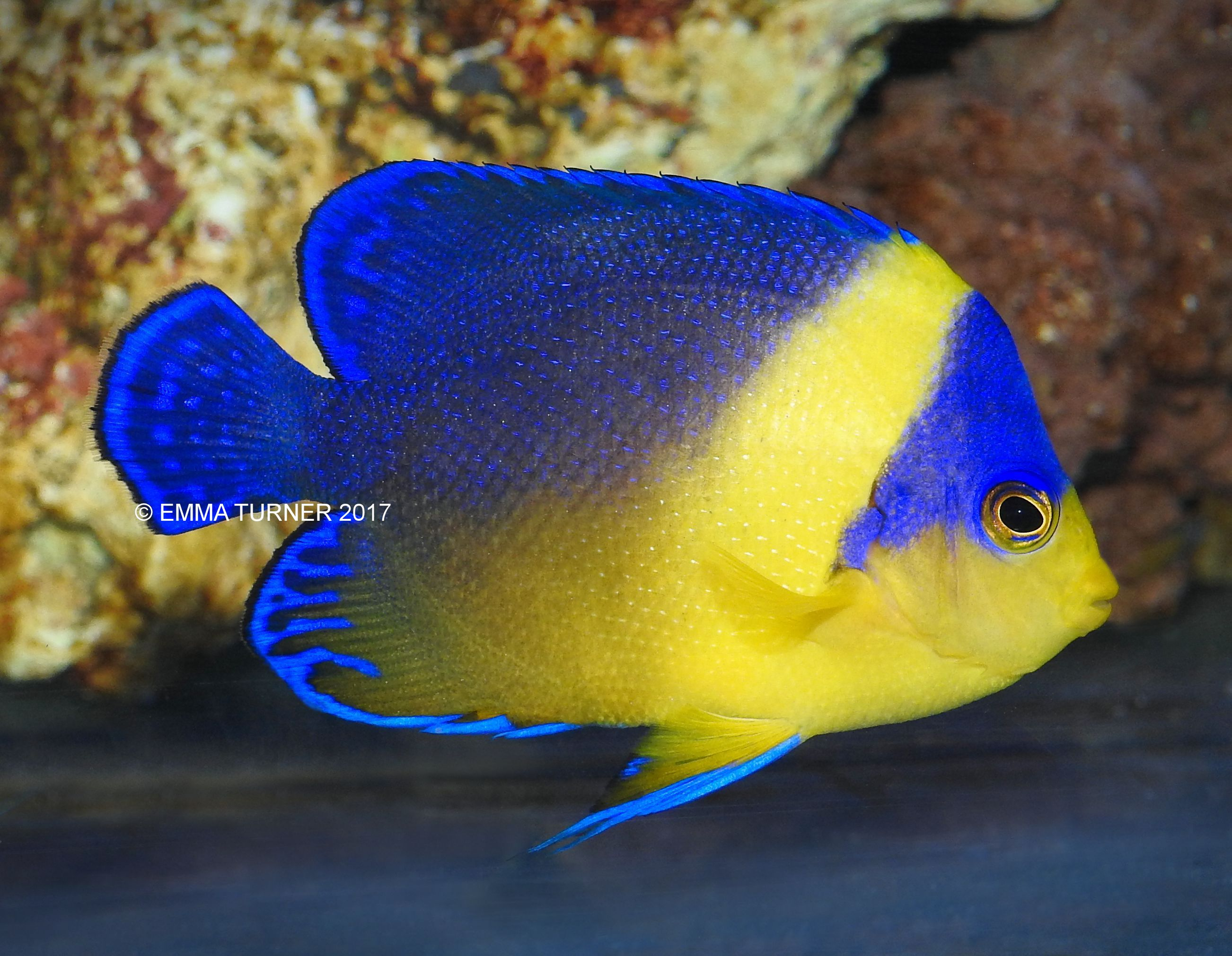 Purple masked angelfish maidenhead aquatics for Fish compatible with angelfish