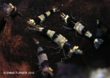 Black Crystal Bee Shrimp