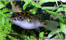 Figure of Eight Puffer