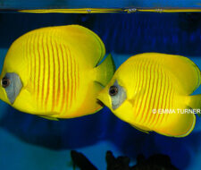 Addis Butterflyfish