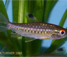 African Red Eyed Tetra