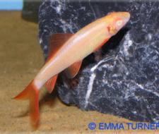 Albino Ruby Shark