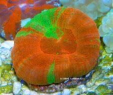 Australian Saucer Coral