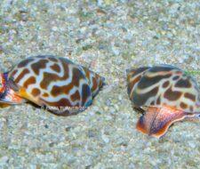 Babylonia Snail