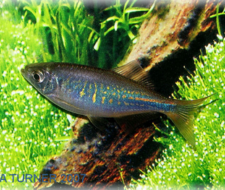 Bengal Turquoise Danio